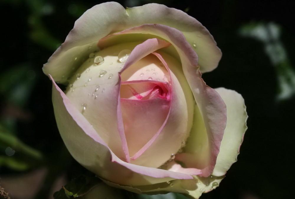 Pose d'une Rose pour une pause...