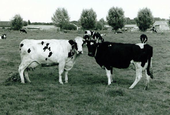 Poser-Kühe