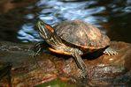 Posierende Schildkröte