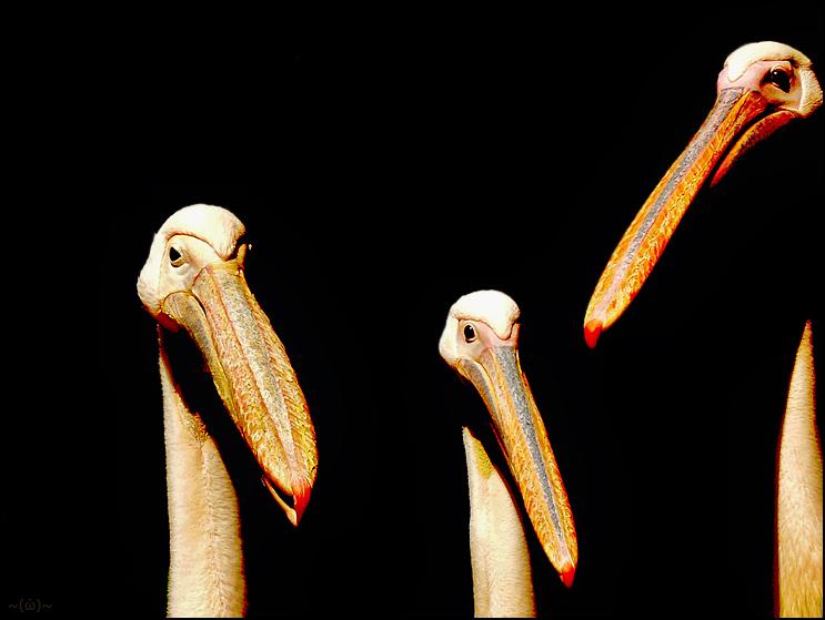 ~ posing pelicans ~