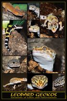 "Posterentwurf ""Leopard Geckos"""