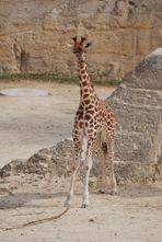 """""""Pouet Pouet"""" Dit la girafe !!!  :o))"""