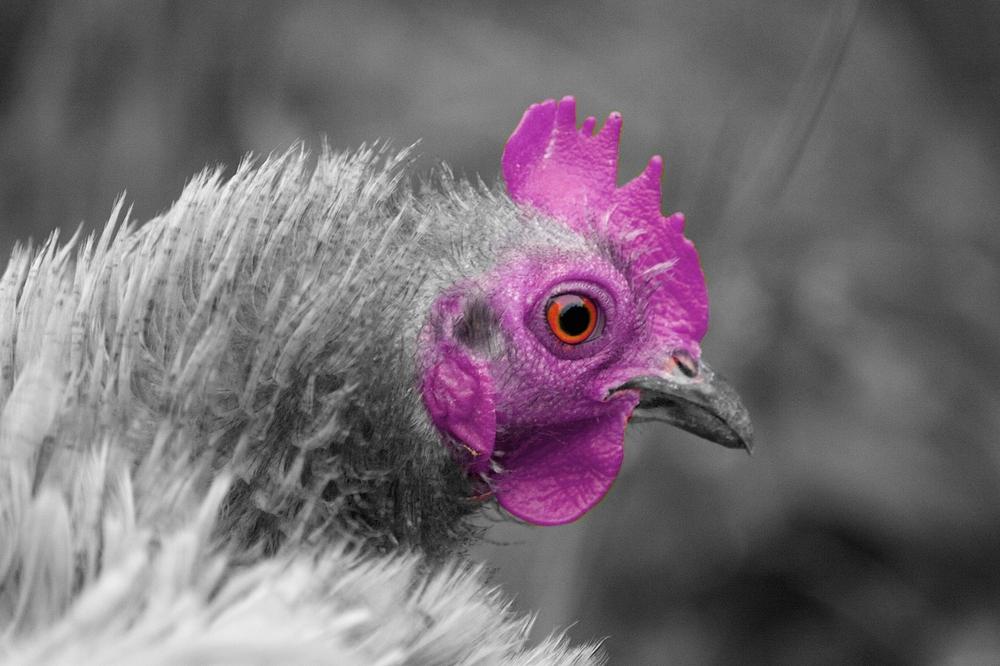 poule bionique
