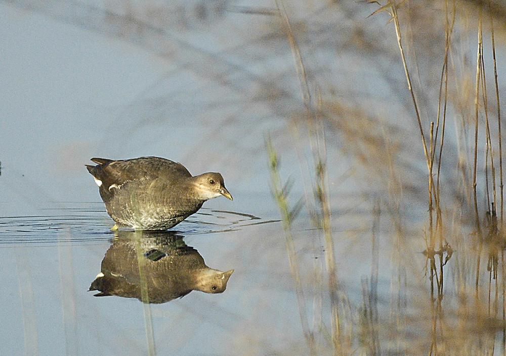 poule d'eau et son reflet