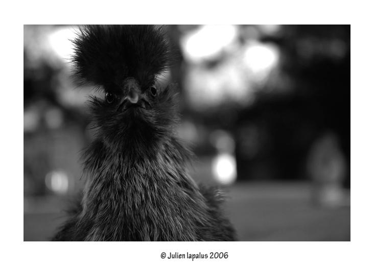 Poule Nègre de soie