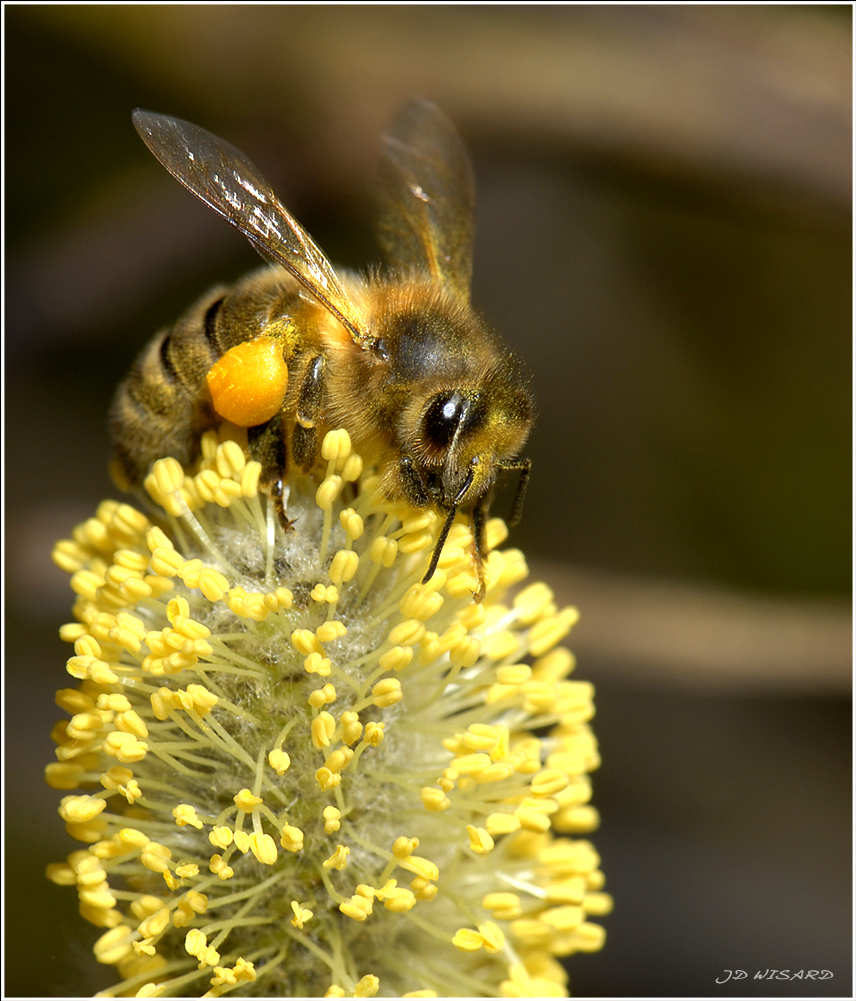 ....Pour CLOCHETTE...une abeille....