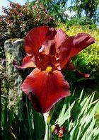 Pour l'amour des iris
