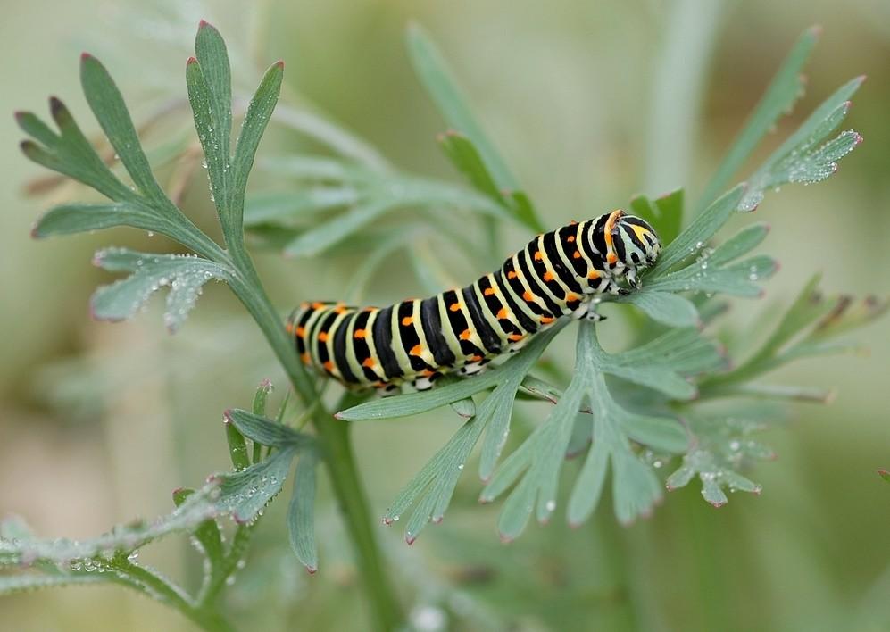 Pourquoi....les chenilles deviennent papillons ?