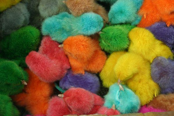 poussins colorés