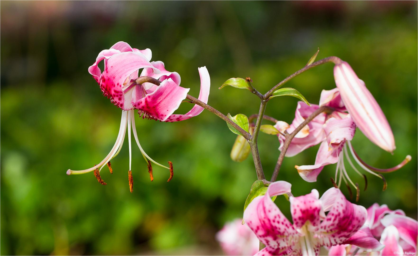 Pracht - Lilie (Lilium speciosum).