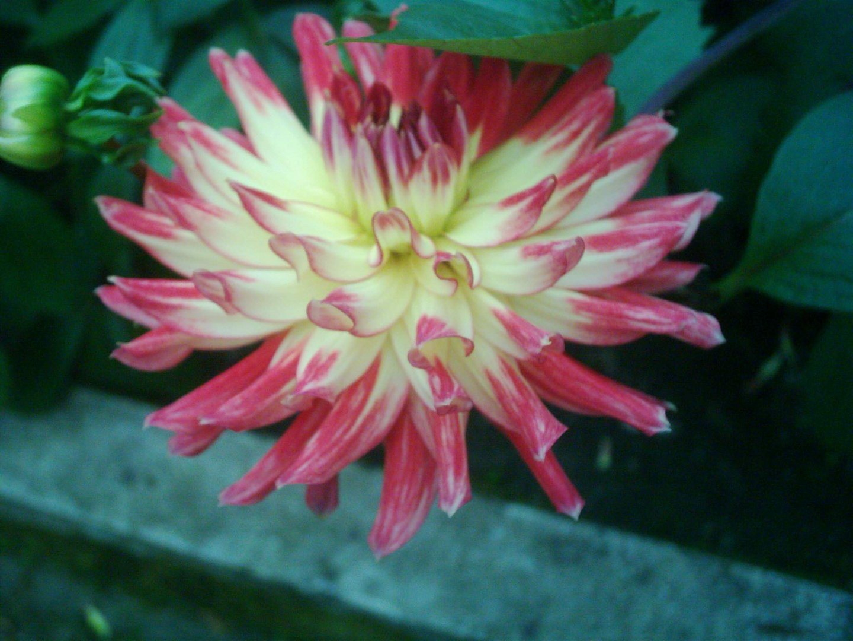Prachtblüte makro