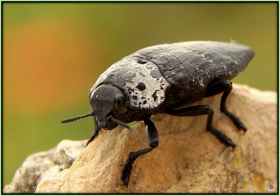 Prachtkäfer - Acmaeoderella Flavofasciata