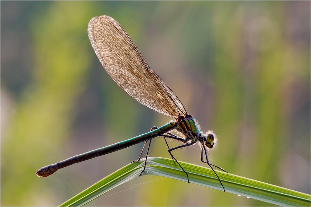 Prachtlibellen Weibchen