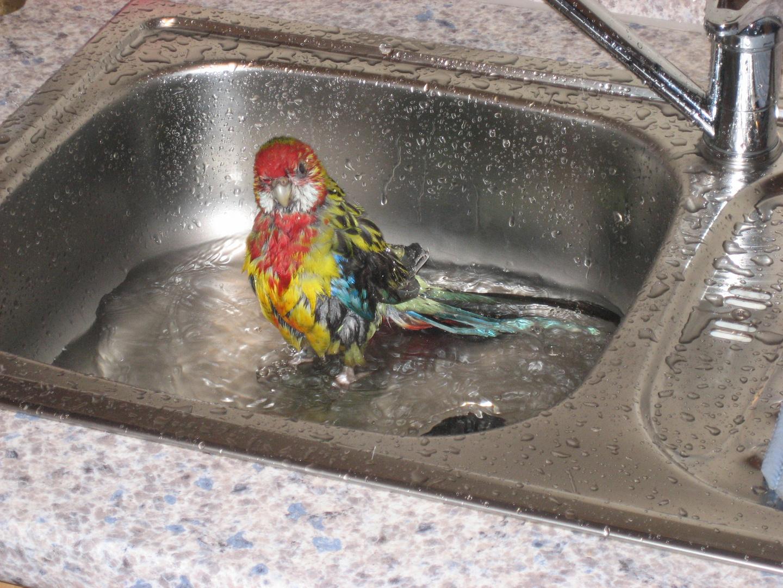 Prachtrosella beim Bad