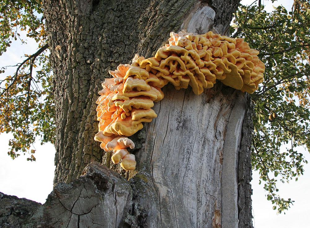 Prachtstück von Baumpilz