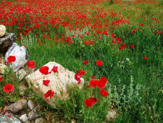 Prado de amapolas en primavera