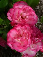 prächtige Rosenblüte