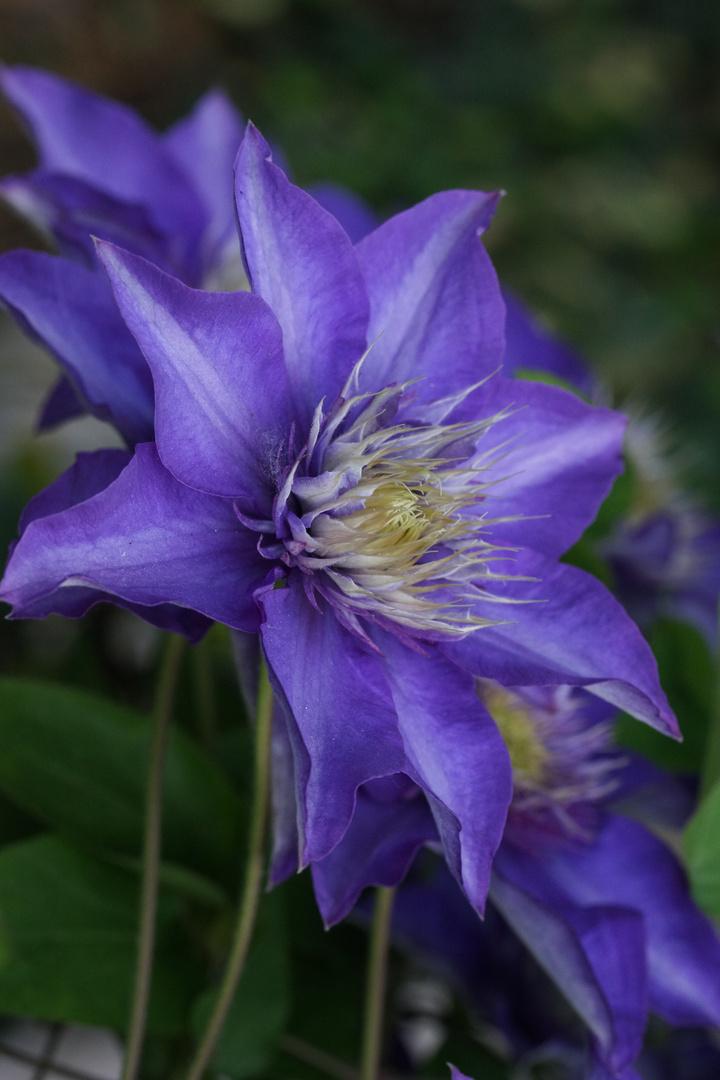 prächtige violette Clematis