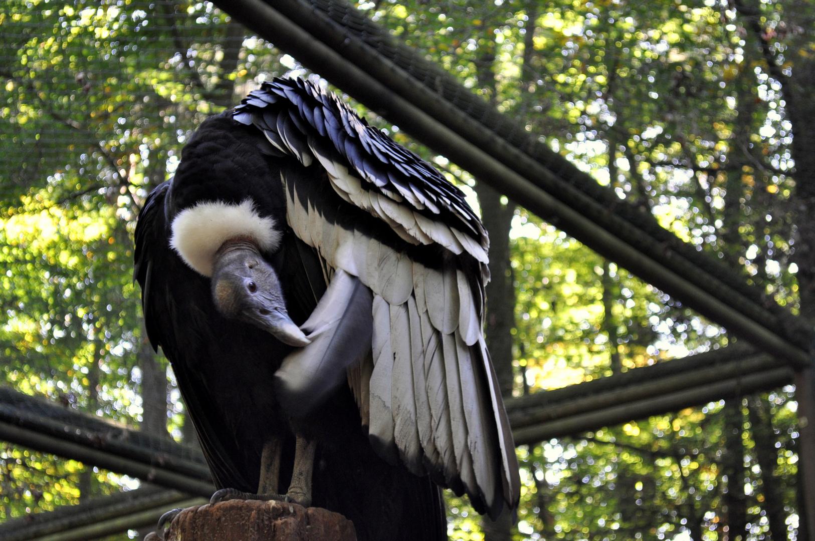 Prächtiger Kondor