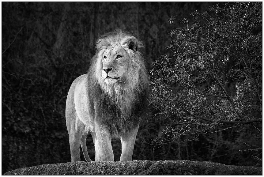 pr chtiger l we foto bild tiere zoo wildpark falknerei natur bilder auf fotocommunity. Black Bedroom Furniture Sets. Home Design Ideas