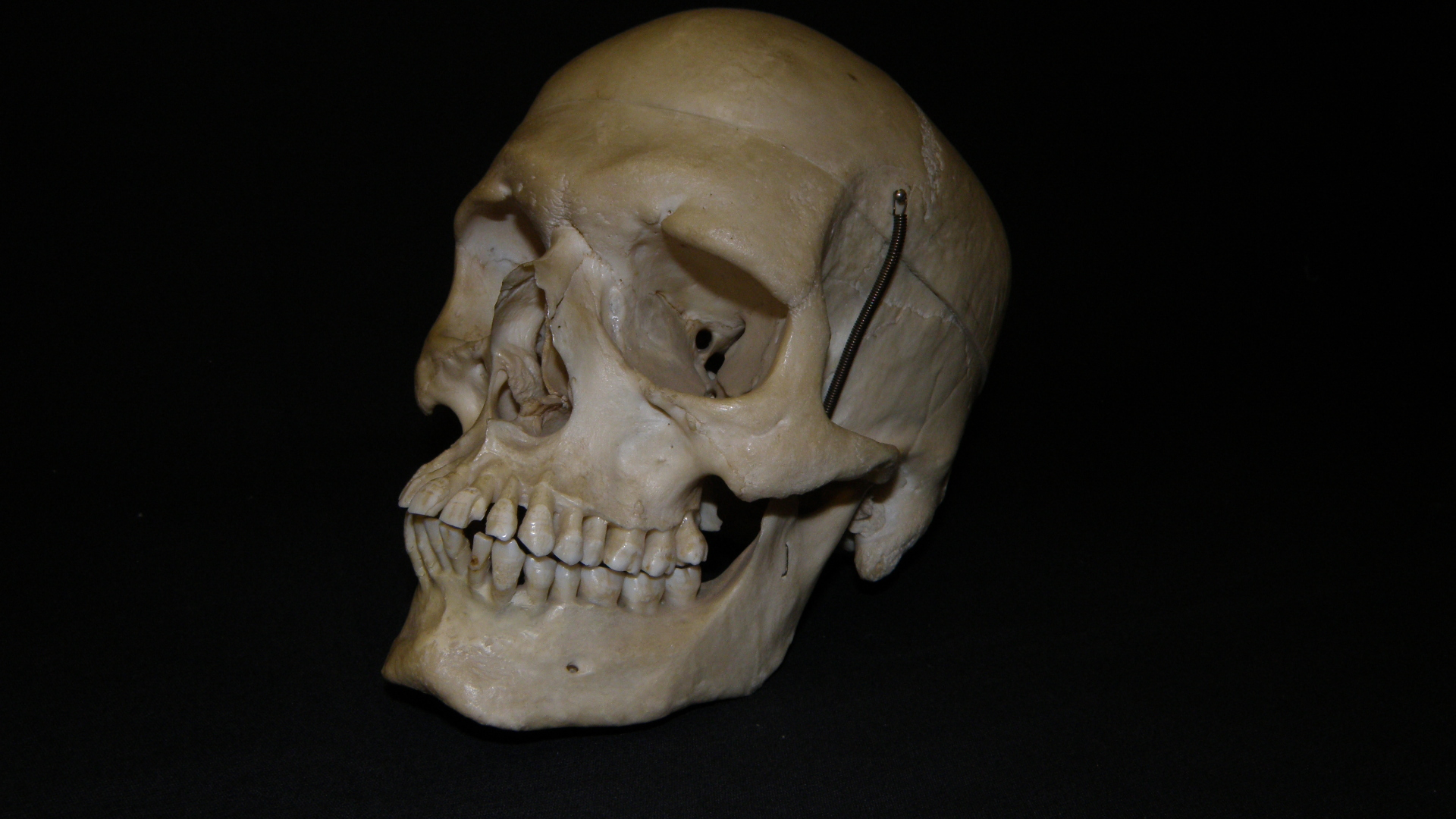 Präparierter Schädel #2