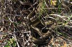 Prärie-Strumpfbandnater (Thamnophis radix) - Paarung (III)