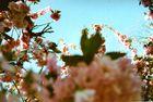 Prager Kirschblüte