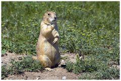 Prairie Dog, oder ...