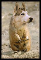 Prairie-Husky
