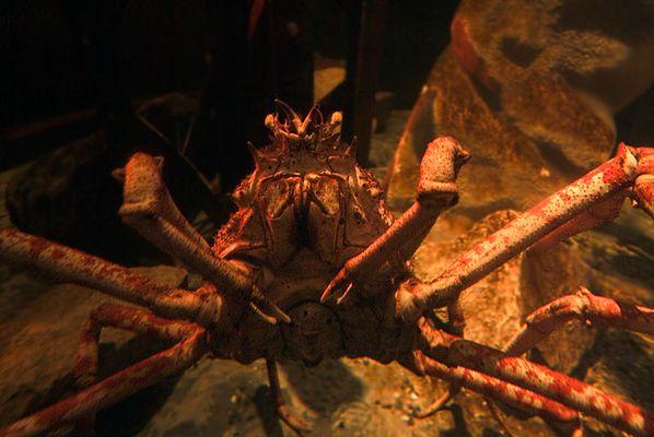 Praying Mantis of the Sea