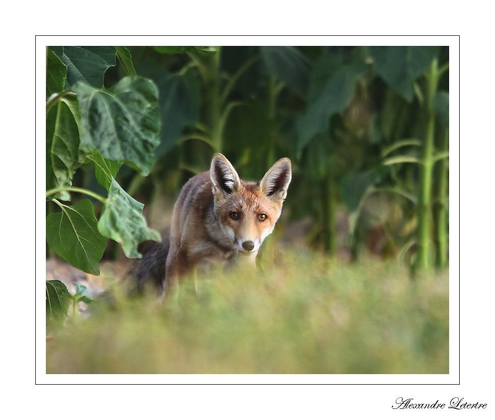 Premier renard
