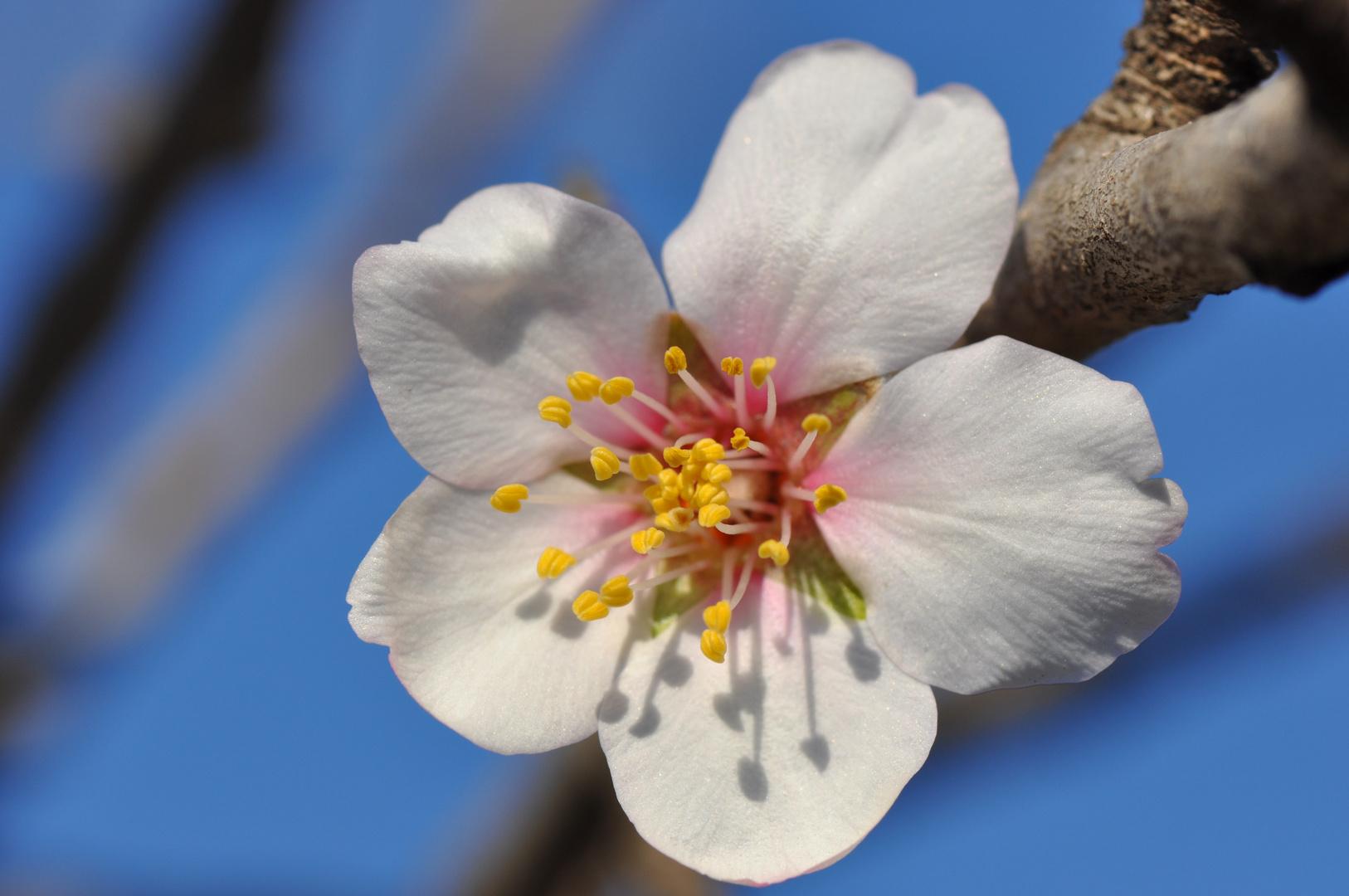 premi re fleur d 39 amandier le printemps arrive photo et image fleurs nature images. Black Bedroom Furniture Sets. Home Design Ideas