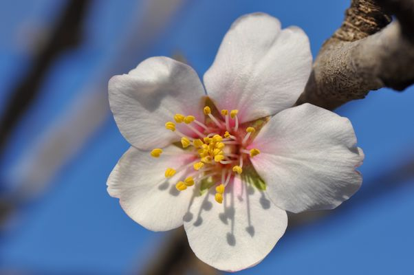 Première fleur d'amandier... le printemps arrive
