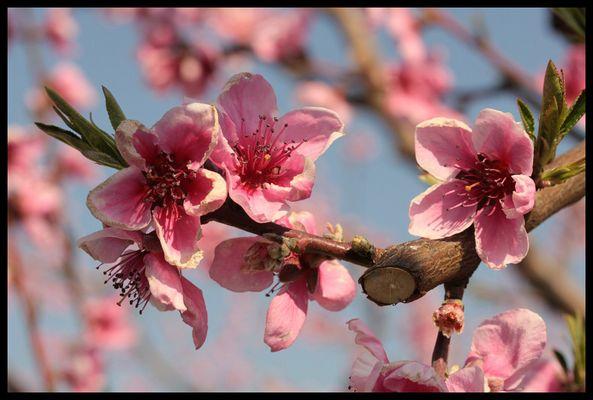 Première Fleur d'arbre fruitier