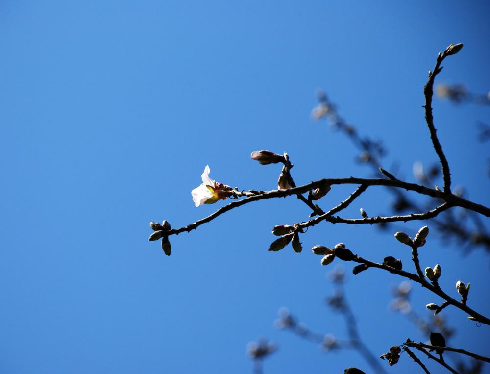 Premiere fleur de Fevrier