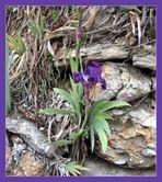 Première iris de l'année !!
