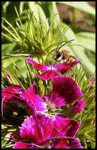 presiosa abeja