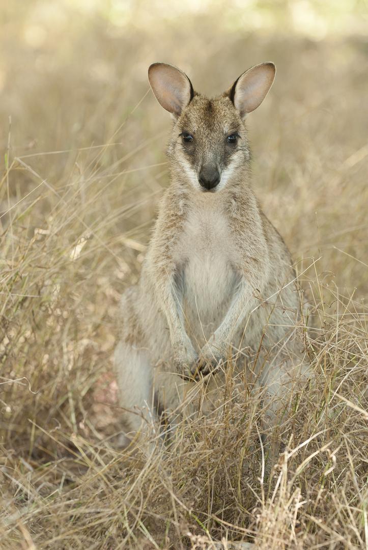Pretty-face Wallaby