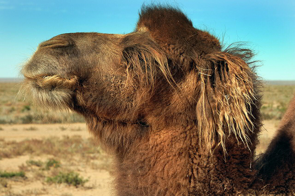 Pretty ginger longhaired camel portrait