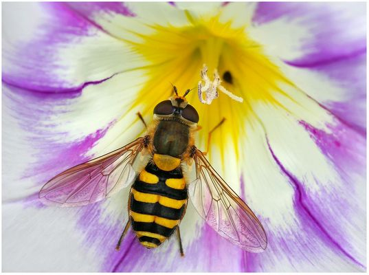Pretty hoverfly