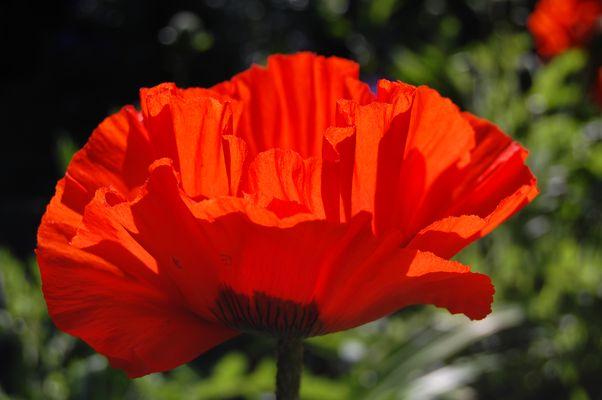 Pretty poppy petals.