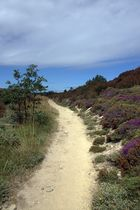 Pretty sandy way with purple bushes