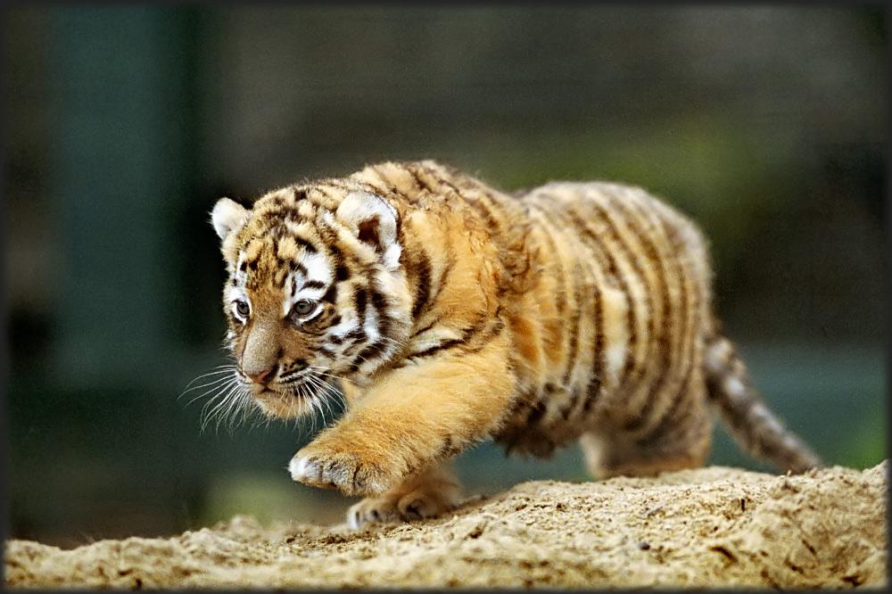 Preußischer Tiger (Reload)