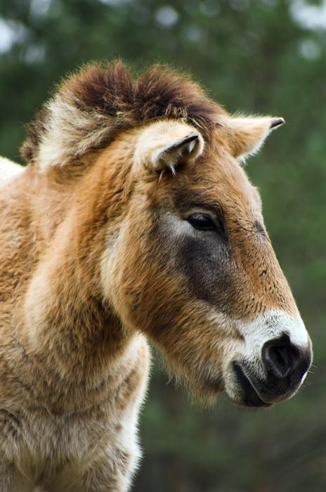 prewalzki pferd