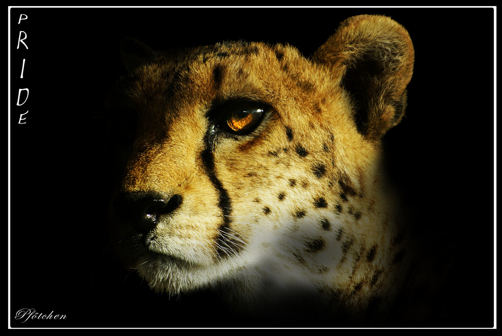 PRIDE - Der stolze Gepard