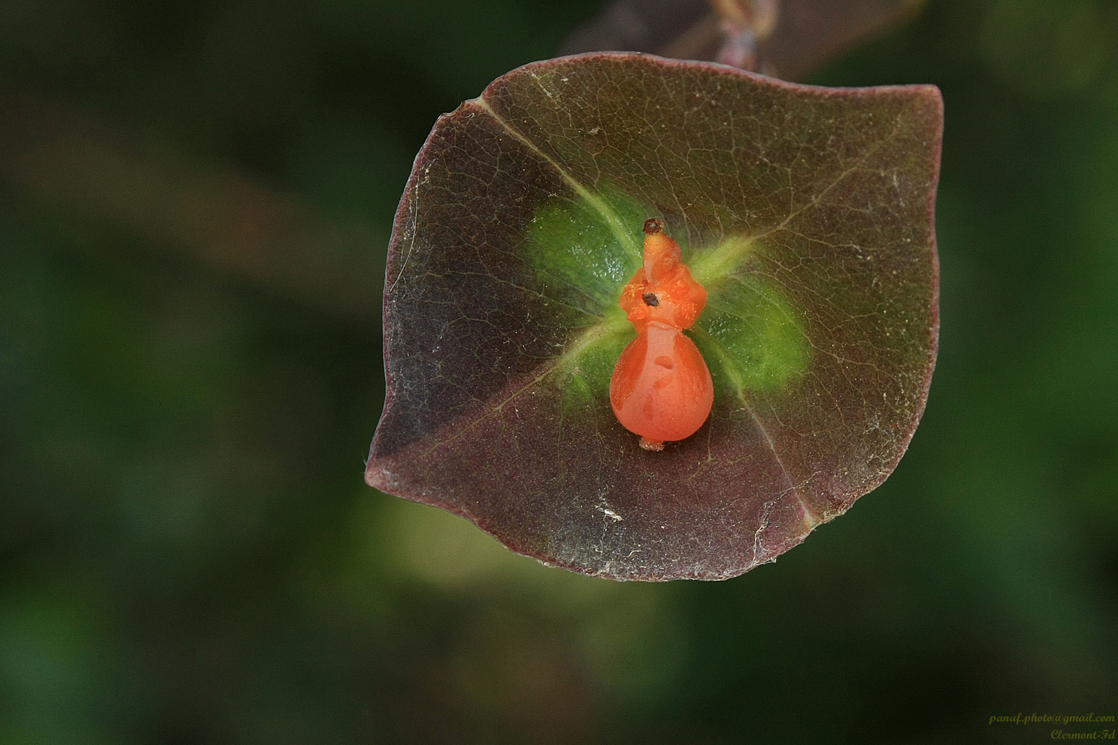 Prieuse rouge à petit chapeau marron dans un calice vert