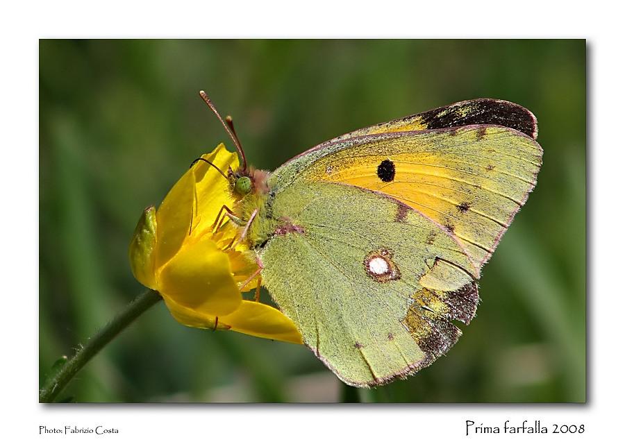 Prima farfalla 2008