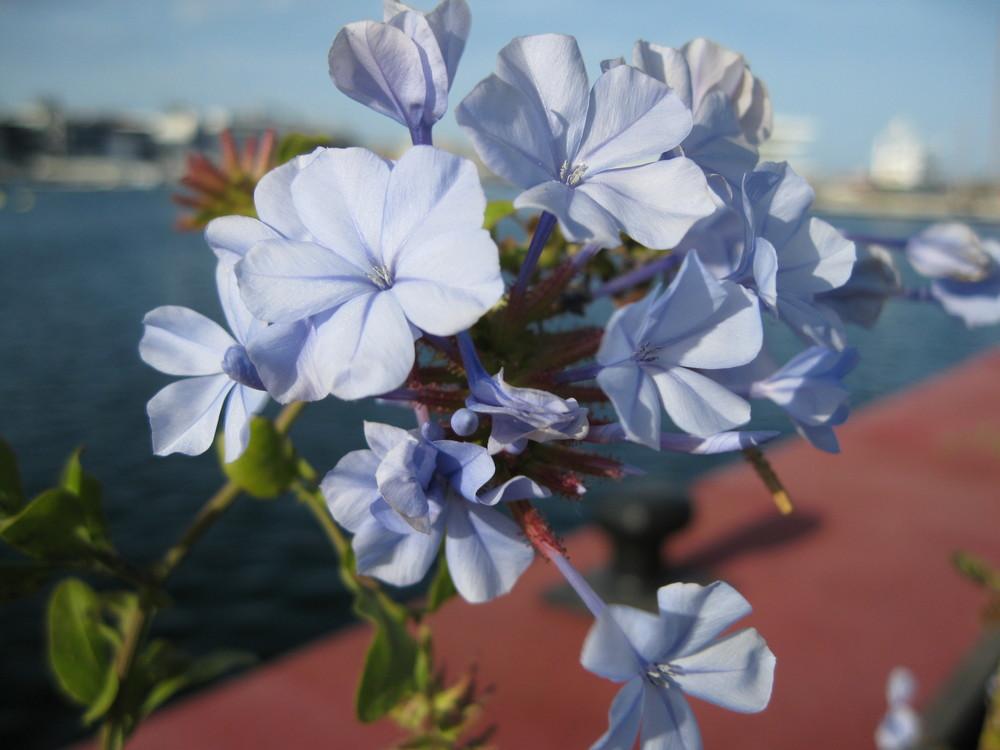 primavera azul en el puerto