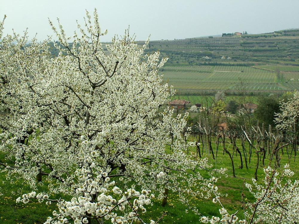 Primavera in Valpolicella