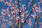 Primavera precoz en flor de durazno. Nikon D80